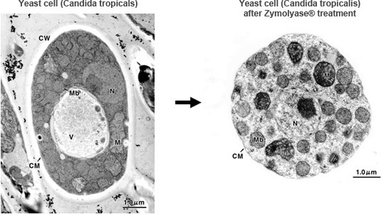 Yeast cell (Candida tropicals) -> Yeast cell (Candida tropicalis) after Zymolyase® treatment